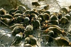 ratos%2B2 - Pragas e Eventos