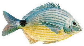 Marimbá (Diplodus argenteus)