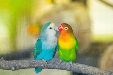 Burung Cinta Yang Setia