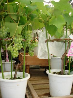 tabulampot anggur