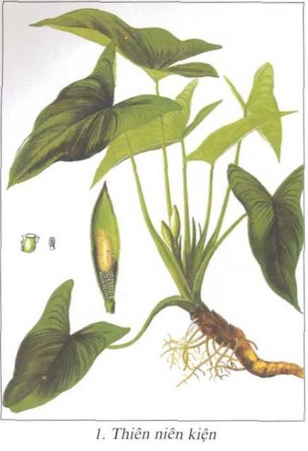 Cây Thiên niên kiện - Homalomena aromatica - Nguyên liệu làm thuốc Chữa Tê Thấp và Đau Nhức