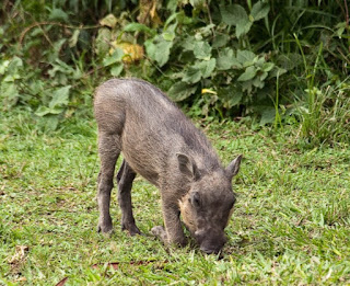 The female warthog suckles the new litter, and each piglet has its own teat, suckling exclusively from it