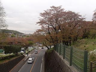 4/5 桜の開花状況 ソメイヨシノは散りました。