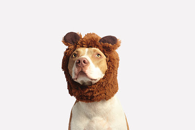 A large brown and white dog is wearing a bear ears costume