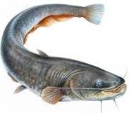 budaya ikan lele
