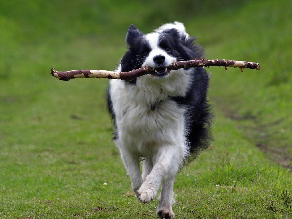 Pictures Of A Intelligent Border Collie Dog
