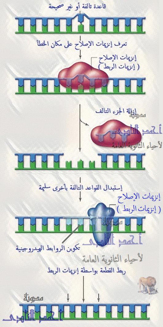 إصلاح عيوب الـحمض النووى dna - إنزيمات الربط - فكرة عمل إنزيمات الإصلاح