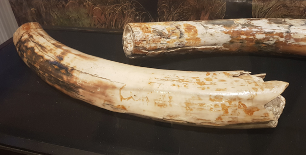 Mammouth Tusk