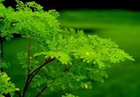 Tree Moringa