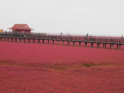 الشاطئ الأحمر الذي يقع علي نهر panjin-red-beach-82.