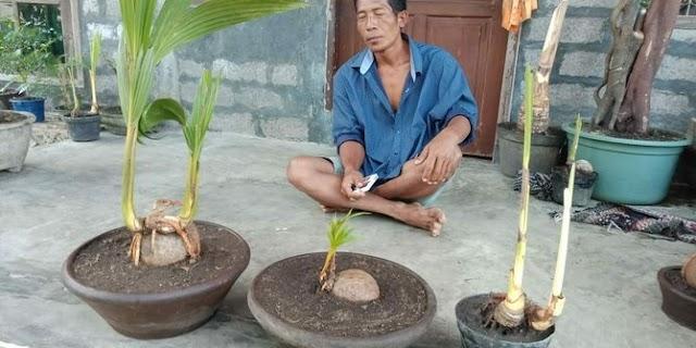 Tunas kelapa bercabang unik ditemukan warga di Jembrana