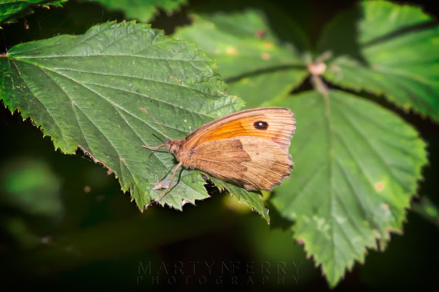 Macro image of a meadow brown butterfly in the afternoon sunshine