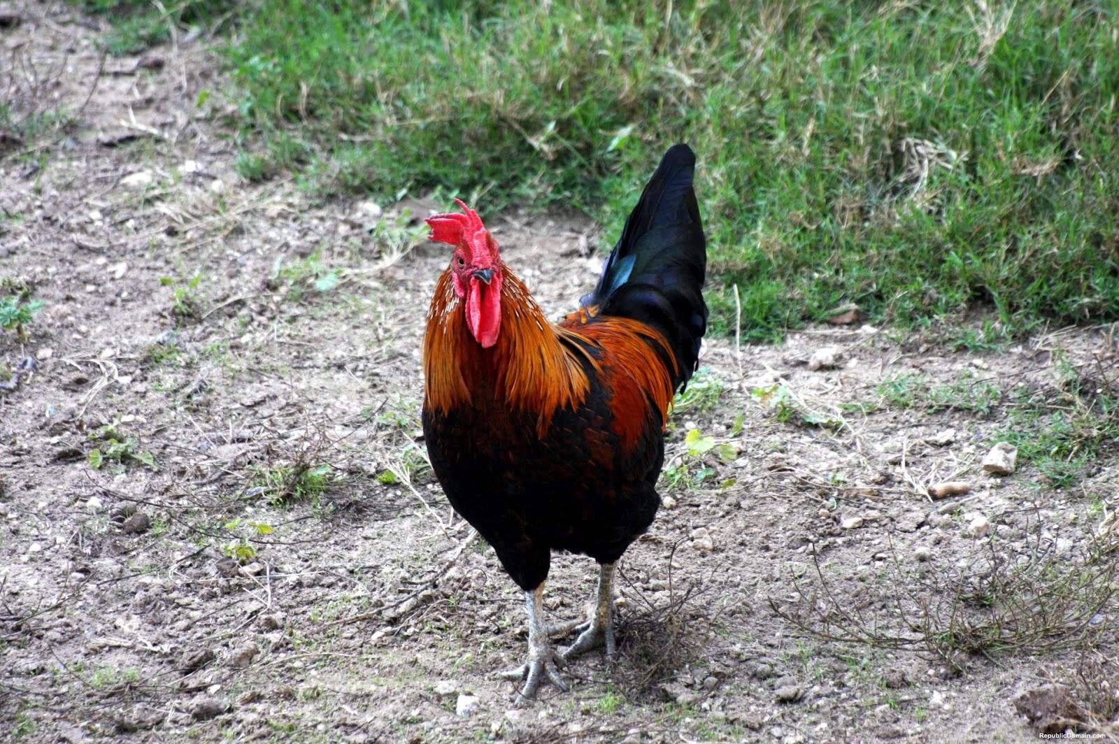 chicken pictures | chicken picture | chickens pictures ...
