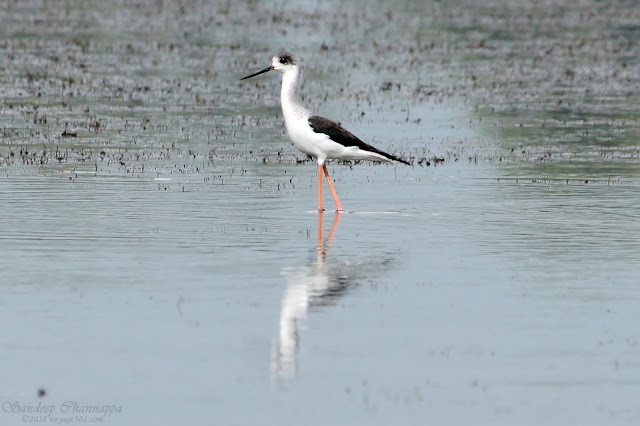 The long legged Black-winged Stilt