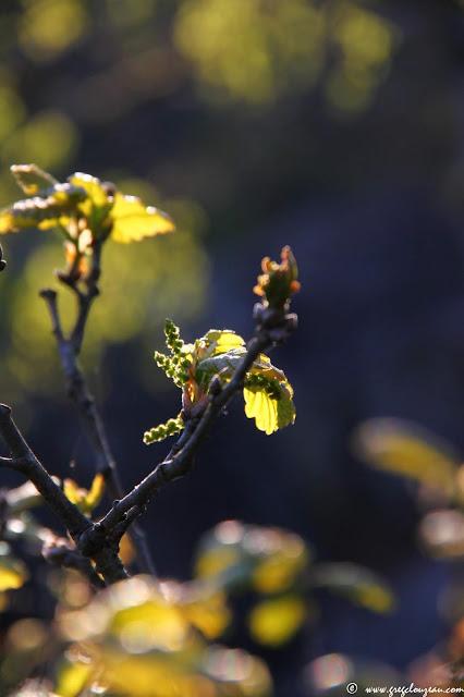 Débourrement du chêne, Forêt de Fontainebleau, (C) 2015 Greg Clouzeau