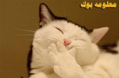 قط يضحك