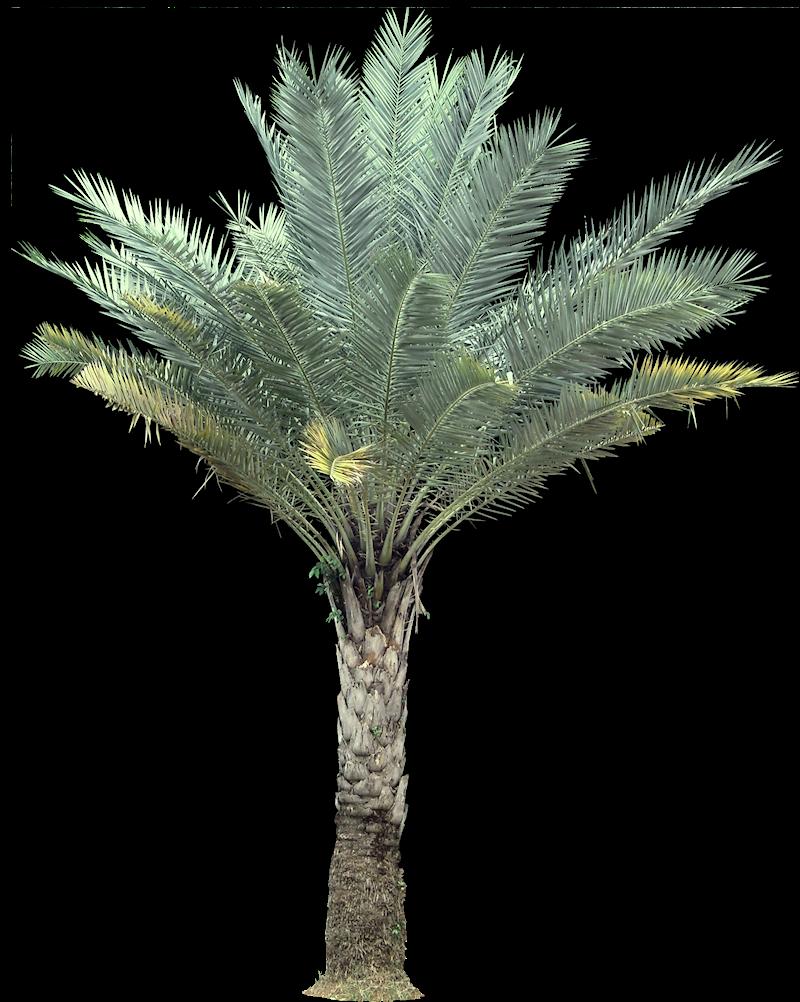 Tropical Plant Pictures: Palm : Phoenix Sylvestris