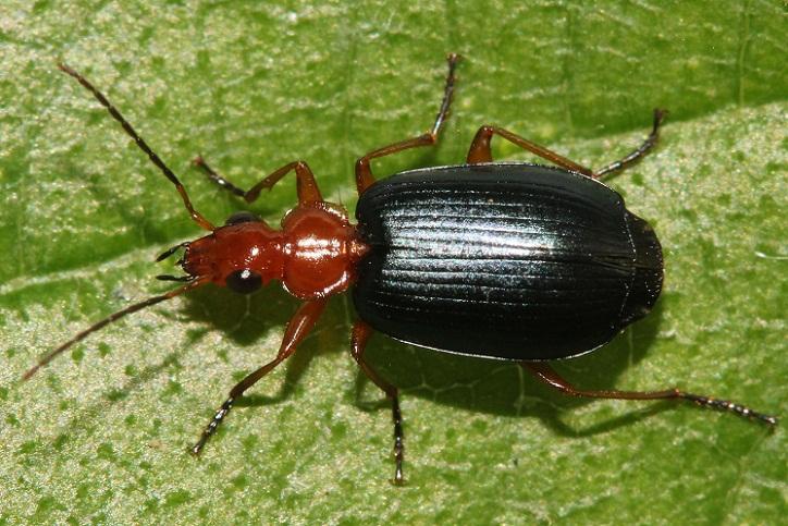 Bombardier Beetle, Kumbang yang Mampu Menciptakan Bom