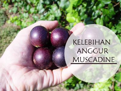 kelebihan anggur muscadine,khasiat anggur muscadine,anggur muscadine anti kanser