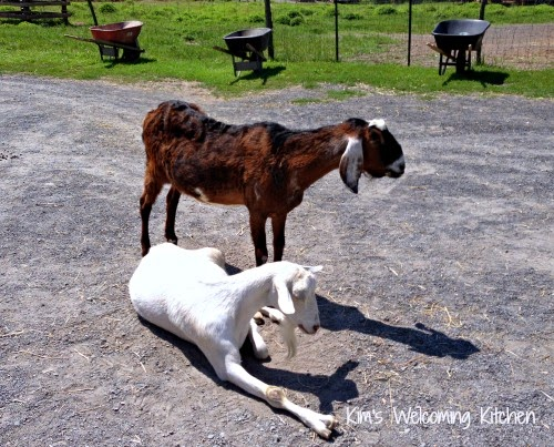 Getting To Know Roughly Goats Together With Pigs At Woodstock Farm Brute Sanctuary