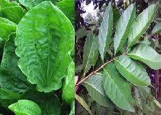 tentu sajanya tak terlepas dari sejumlah bahan dan senyawa pada bagian herba tumbuhan Obat diabetes melitus alami dari daun sendok dan salam