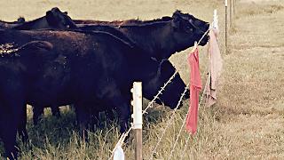 Cattle studying laundry