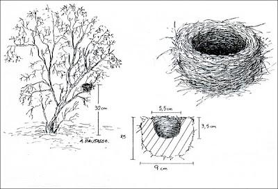 nido de Piquitodeoro común Catamenia analis