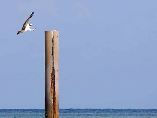 bird, osprey, seahawk, landing on pole in ocean