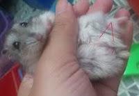 Perbedaan hamster jantan dan Hamster betina