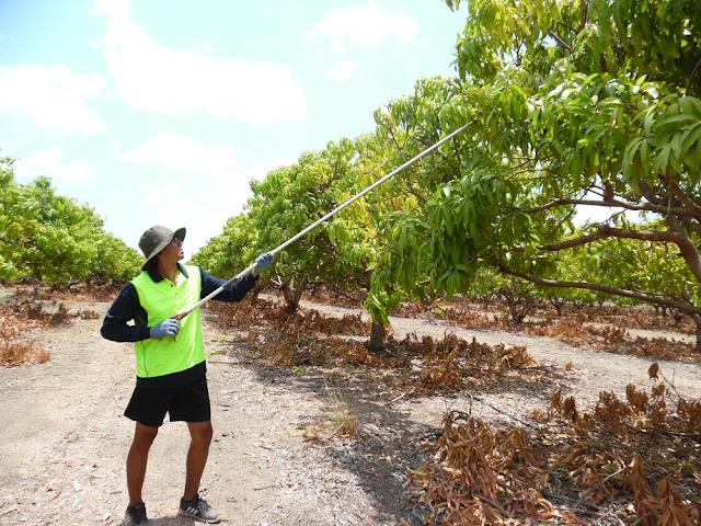 mango farm australia