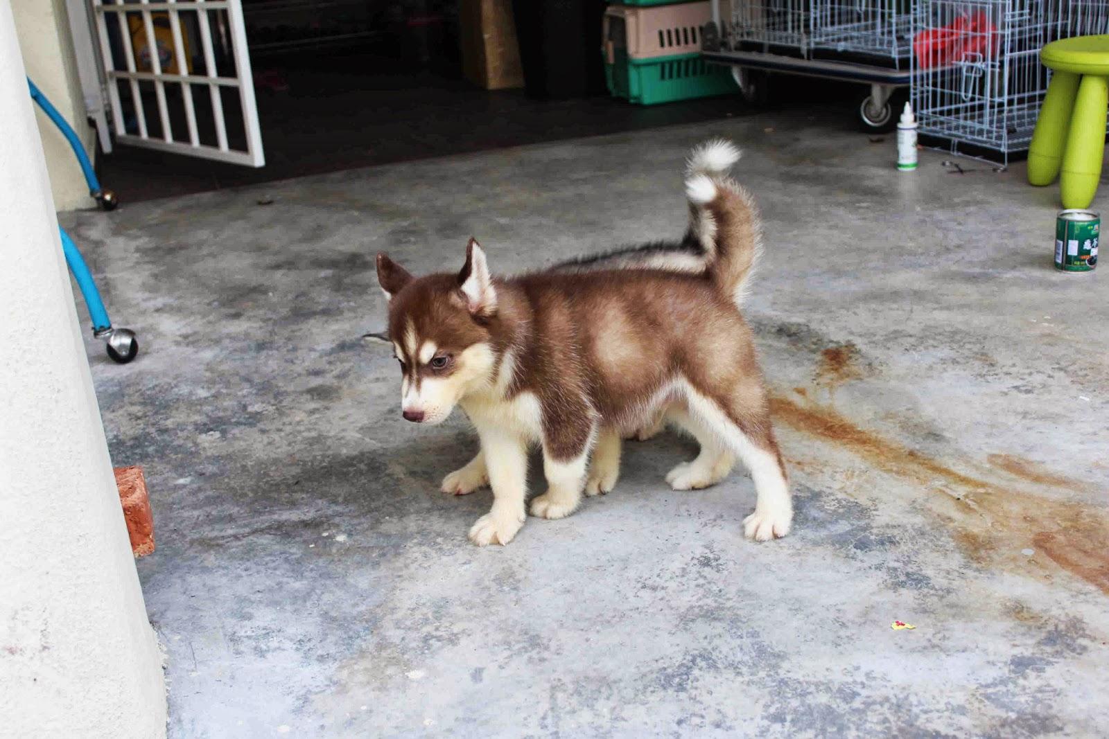 LovelyPuppy: Dark Red Copper Siberian Husky Puppy