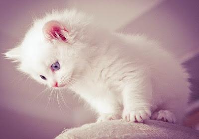 Harga Kucing Persia dan Kucing Anggora Terbaru 2017 Kucing Lucu dan Imut