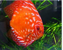 Ikan Hias Air Tawar Termahal, diskus orange