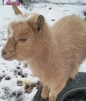 Missing Goat