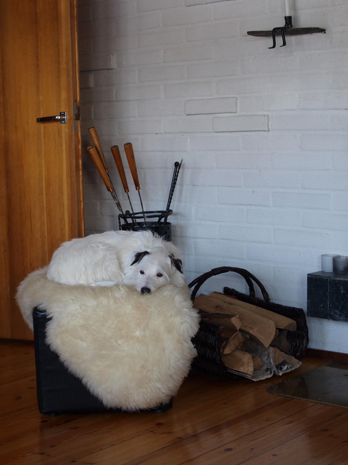 parson russelin terrieri, koira, terrieri, takka, kesämökki, vesilahti