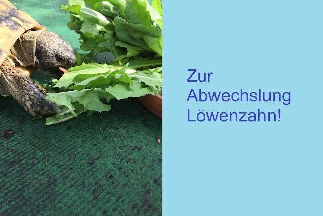 Schildkröte am Löwenzahn fressen