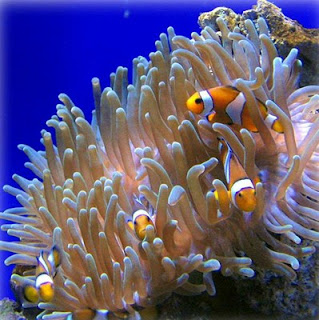 sea anemone and clownfish mutualism relationship in a marine
