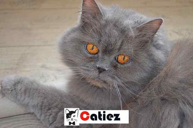 British Longhair cat Breed