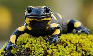 Salamandra, Animale di Potere e Totem