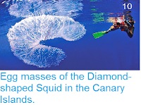 http://sciencythoughts.blogspot.co.uk/2014/05/egg-masses-of-diamond-shaped-squid-in.html