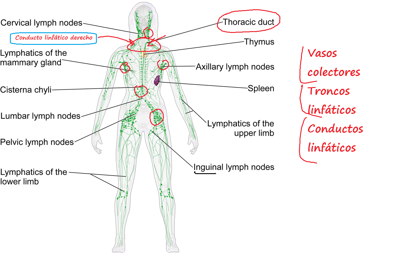 Diagram Location Lymph Nodes 3way Switch Wiring Diagrams Human Node Liver