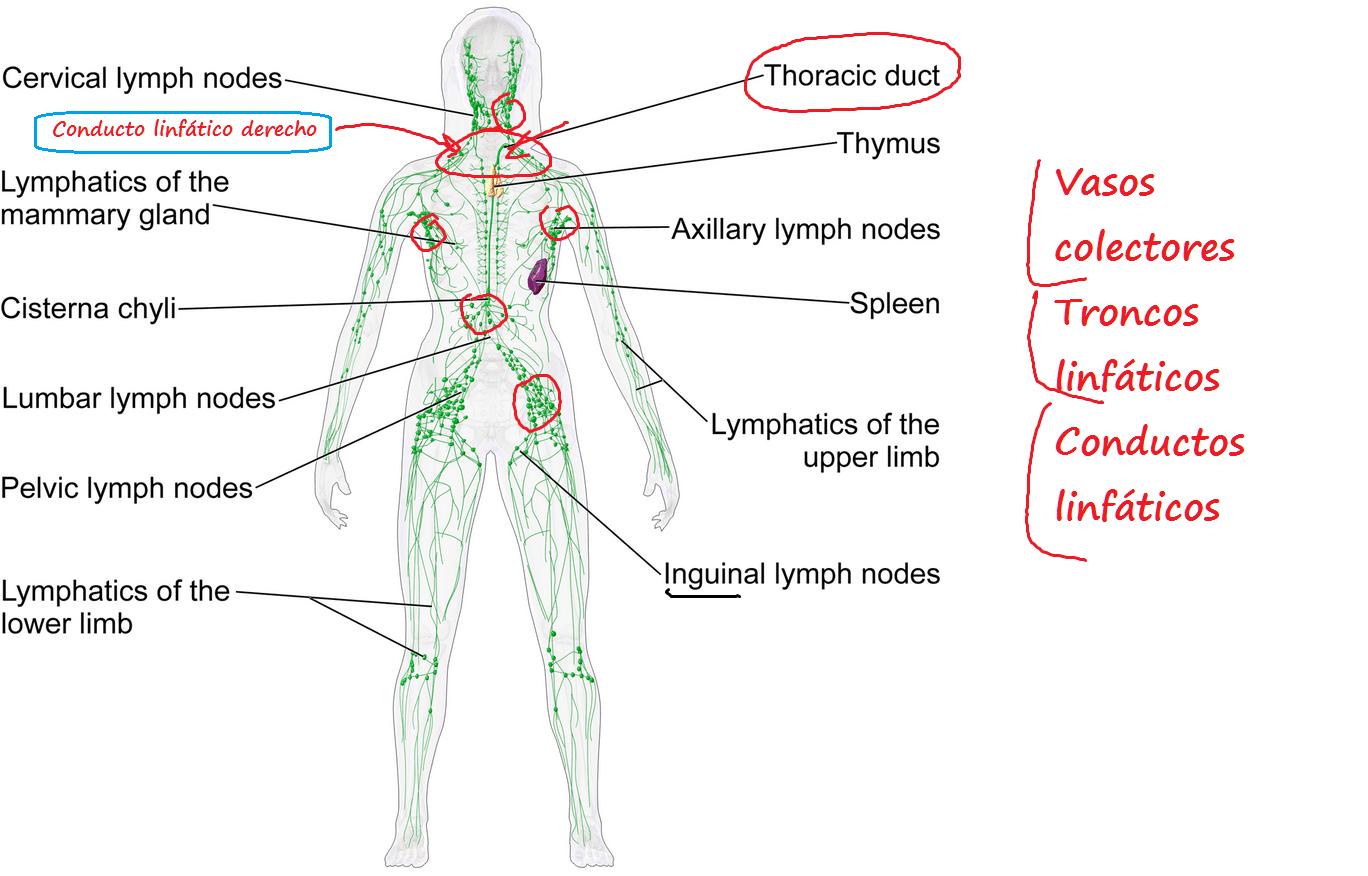 Dr. Alberto Sanagustín : Sistema Linfático