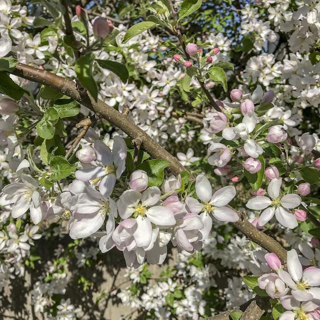 äppelträd, äppelblom
