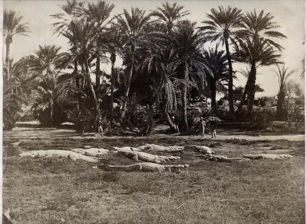 Sacred Alligators Basking in the Sun - India c1880's