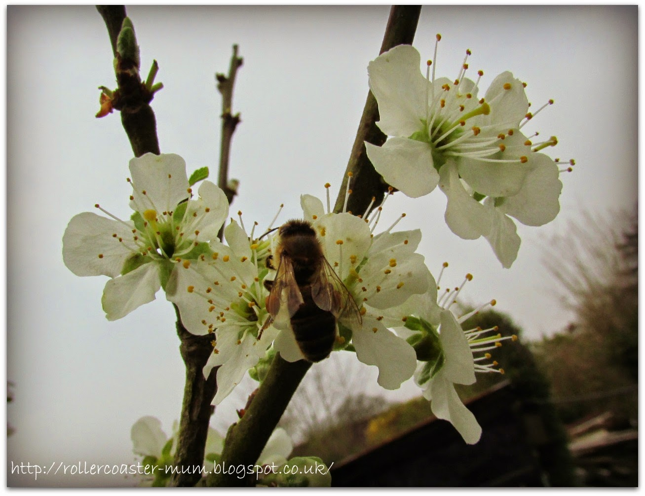 bee feeding on plum blossom