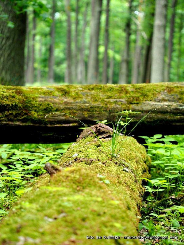 drzewa, las w marysinie, marysin wawerski, puszcza, pnie drzew, klody,