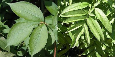 Confronto foglie sambuco comune e sambucus ebulus.