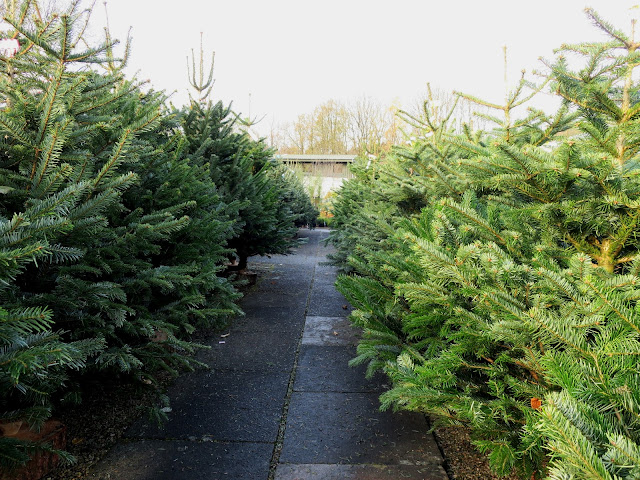 Christmas trees at Newbank Garden Centre, Greetand
