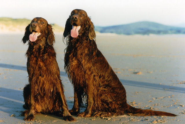 Two female Irish Setters at the beach
