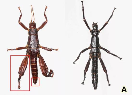 lagosta-de-árvore (Dryococelus australis